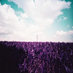 LomoChrome Purple 120 ISO 100-400 紫色負片(5 卷)